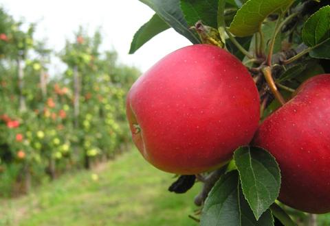 cueillir-pommes-mauricie-cueillette