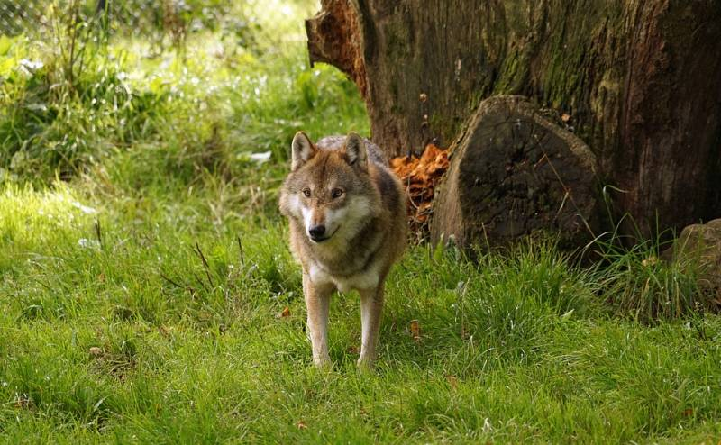 wolf-1097573_960_720