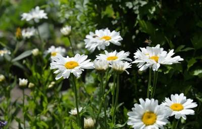 daisies-1534023_960_720
