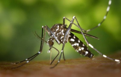 tiger-mosquito-49141_960_720
