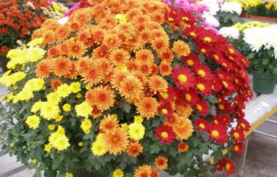 Le chrysanthème, bouquet symbole de la fête de la Toussaint