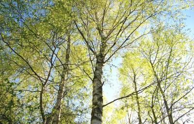 bouleau-arbre