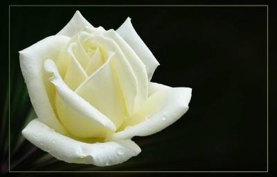 rose-banche