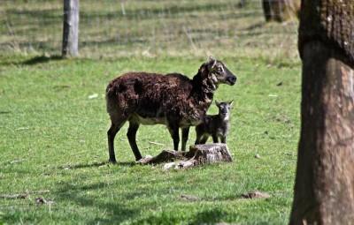 mouflon - Copie-reduites (3)