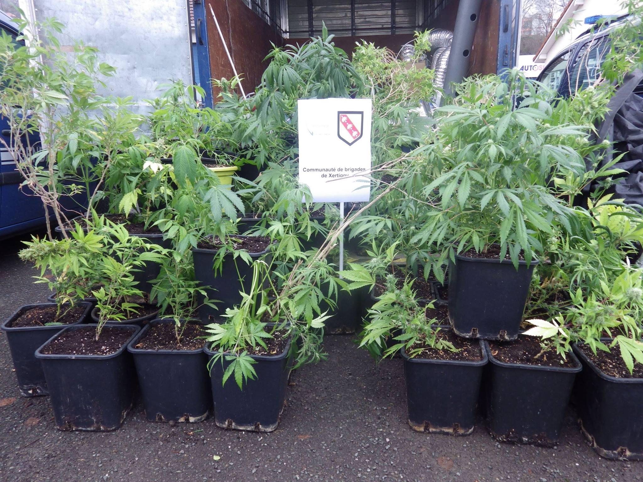 Xertigny saisie de 136 plans de cannabis la plaine des for Plantation cannabis interieur sans materiel
