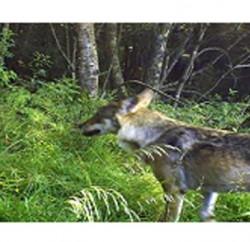loups-des-vosges-670x354