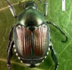 scarabee-japonais-